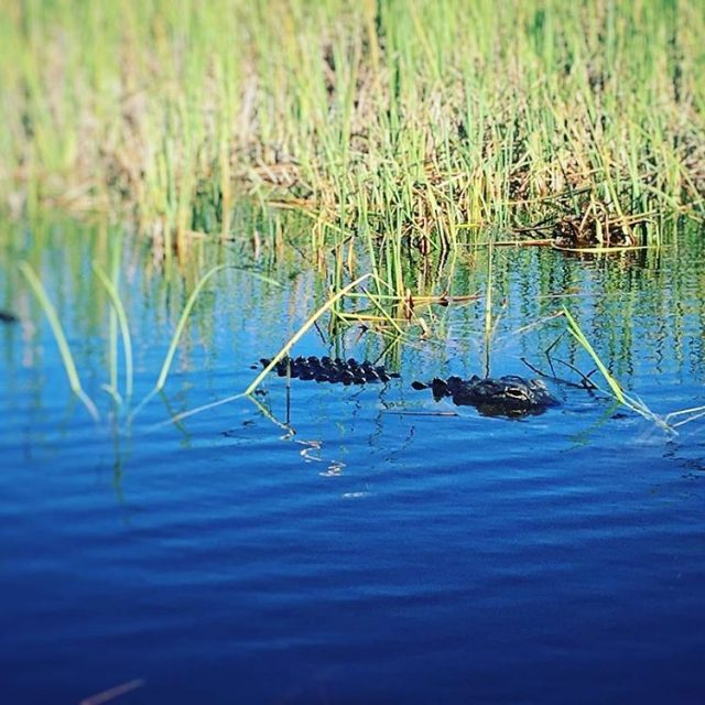 See you later Gator Beautiful day in the Everglades evergladeshellip